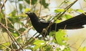 Crotophaga major