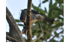 Accipiter superciliosus
