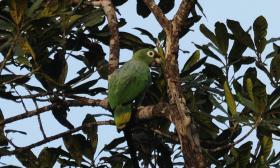 Amazona farinosa