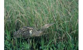 Botaurus pinnatus