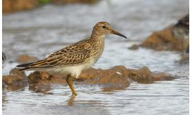 Calidris melanotos