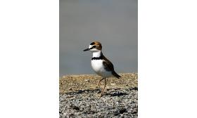 Charadrius collaris