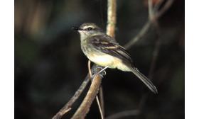 Cnemotriccus fuscatus