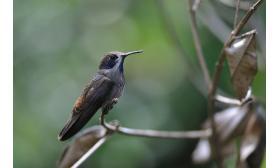 Colibri delphinae