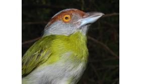 Cyclarhis gujanensis