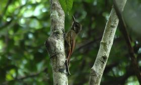 Dendrocolaptes certhia