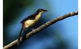 Donacobius atricapilla