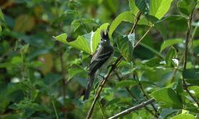 Elaenia flavogaster