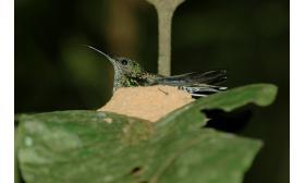 Florisuga mellivora