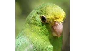 Forpus passerinus
