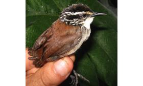 Henicorhina leucosticta