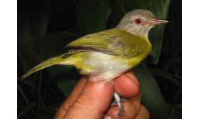 Hylophilus pectoralis