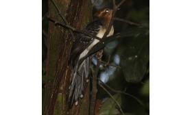 Dromococcyx pavoninus