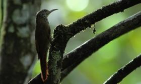 Lepidocolaptes albolineatus