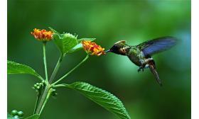Lophornis ornatus