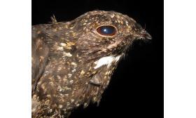 Lurocalis semitorquatus