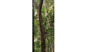 Nyctibius aethereus