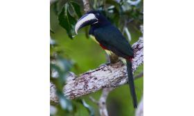 Pteroglossus aracari