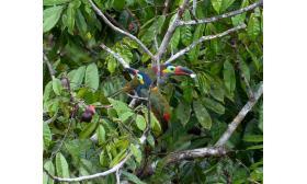 Selenidera piperivora