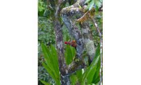Campephilus rubricollis