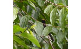 Tachyphonus cristatus