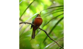 Galbula albirostris