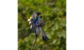 Trogon viridis