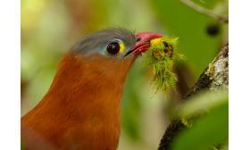 Piaya melanogaster
