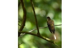 Phaethornis bourcieri