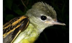 Pachyramphus polychopterus