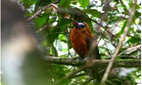 Perissocephalus tricolor