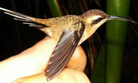 Phaethornis longuemareus