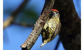 Picumnus exilis