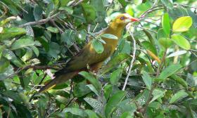Psarocolius viridis
