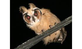 Pseudoscops clamator