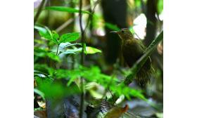 Sclerurus rufigularis