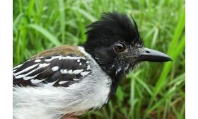 Sakesphorus canadensis