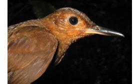 Sclerurus caudacutus