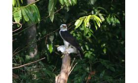 Spizaetus melanoleucus