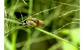 Sporophila bouvronides
