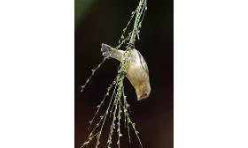 Sporophila lineola