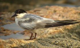 Sterna hirundo