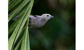 Thraupis palmarum