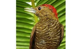 Veniliornis passerinus