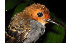 Willisornis poecilinotus