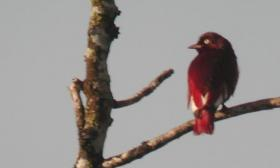 Xipholena punicea