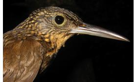 Xiphorhynchus pardalotus