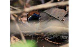 Myrmoderus ferrugineus