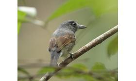 Thamnophilus murinus