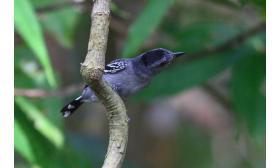 Thamnophilus punctatus